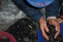 Raccolta periodica delle olive